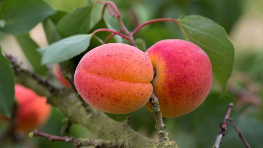 Des abricots (image d'illustration).