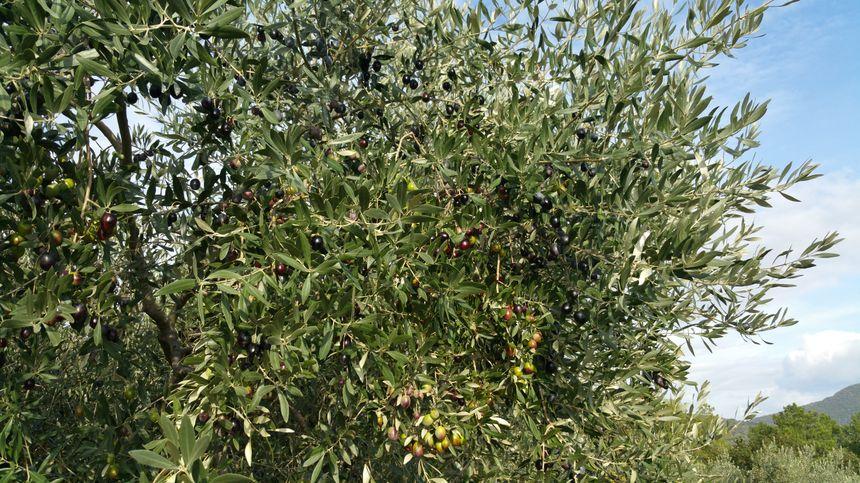 Les oliviers de Nyons ont les branches lourdes de fruits, noirs et verts pour certains.