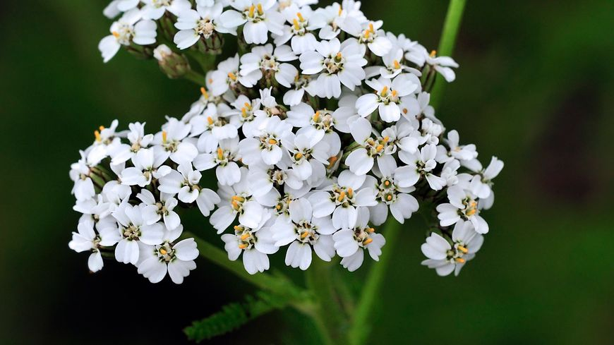 Achillée millefeuille fleur