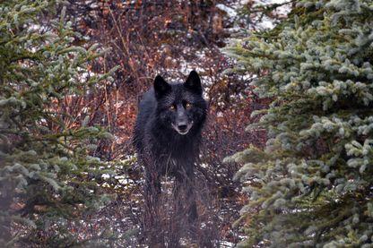 Loup photographié dans le parc national et réserve de Denali (Alaska, Etats-Unis)