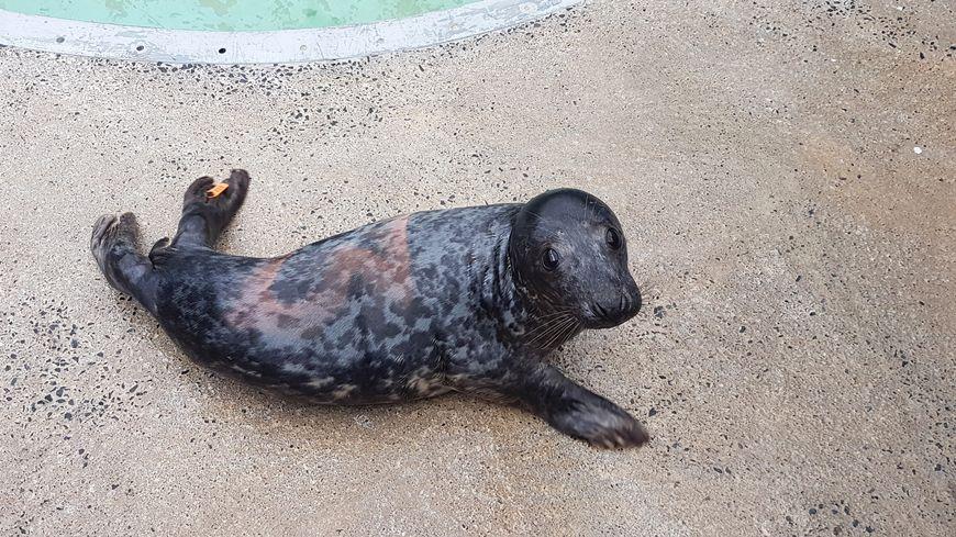Un des phoques gris (même si en vrai il a l'air plutôt noir) recueilli à Brest
