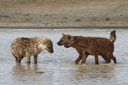 Groupe de hyènes