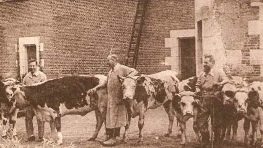 Le docteur Chaumier entouré de bovins, sur les pelouses du château du Plessis - La Riche - Indre-et-Loire
