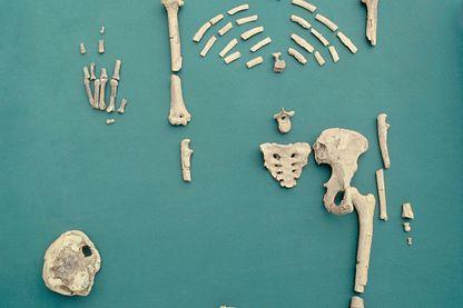 Lucy est le nom donné au fossile d'Australopithecus afarensis découvert en Ethiopie en 1974. Le squelette est complet à 40% et remonte à 3,2 millions d'années.