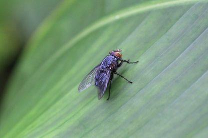 Les moeurs sexuelles inhabituelles des mouches