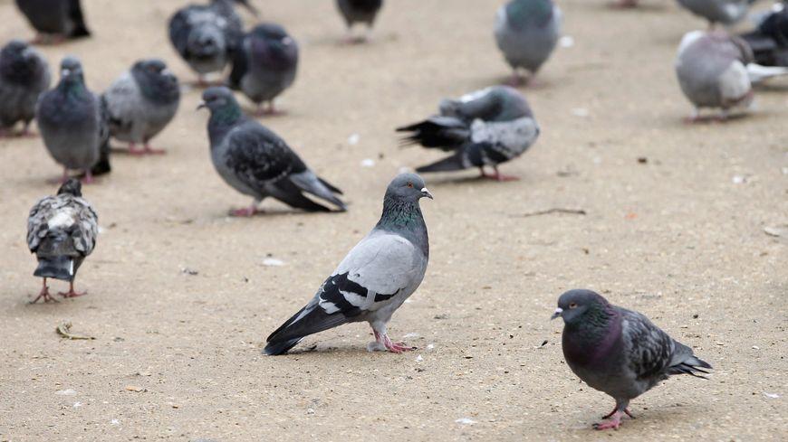Des habitants se plaignent des nuisances des pigeons à Saint-Jean-sur-Erve