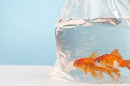 L Italie, l'Allemagne, les Pays Bas interdisent d'elever un poisson rouge dans un petit bocal