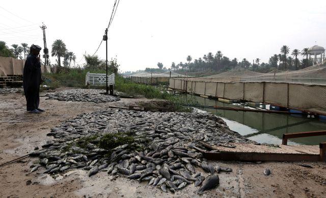 Poissons morts sur les rives de l'Euphrates