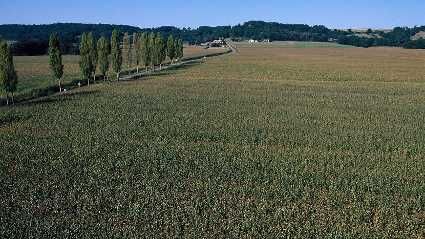 Un champ de maïs dans le Gers.