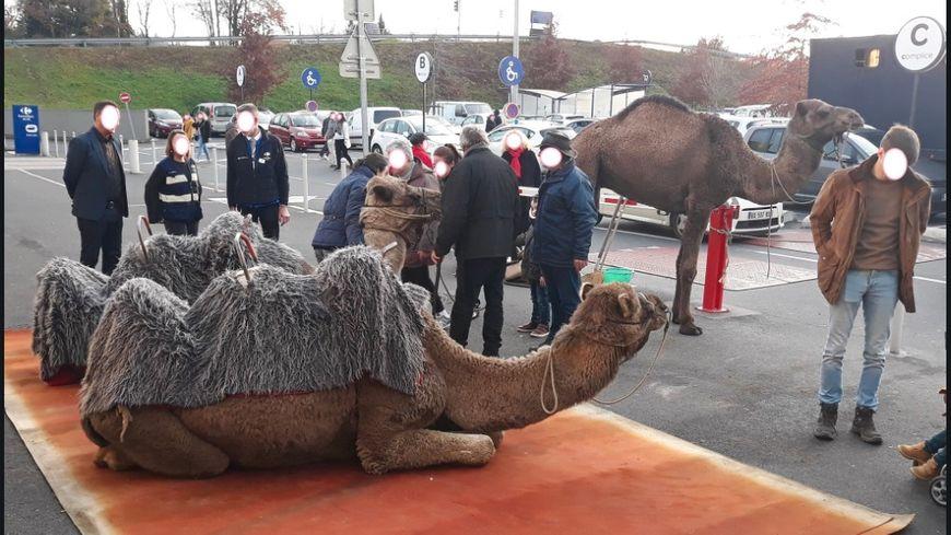 Des dromadaires présents ce jeudi sur le parking de Carrefour, à Brive, ont fait polémique