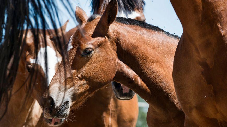 Selon l'association L214, environ 13 000 chevaux ont été abattus en France enn 2016. Plus de la moitié d'entre eux sont des chevaux de course réformés