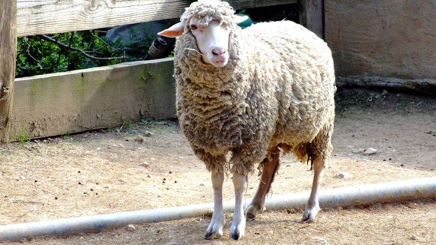 Trois moutons se sont échappés de chez leur propriétaire dans le quartier Gazonfier au Mans