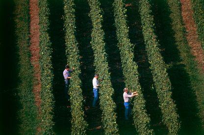 Viticulteurs travaillant dans une vigne près d'Arbois dans le Jura (Franche-Comté, France)