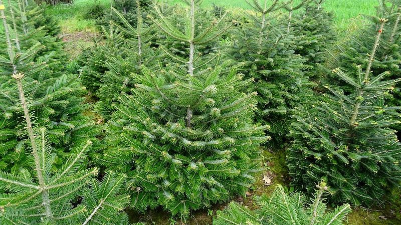 """Sapins de Noël : la star, c'est le """"Nordmann"""" qui ne perd pas ses ..."""
