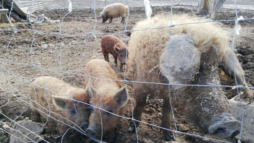 Le cochon laineux est une race rustique qui donne de la viande haut-de-gamme