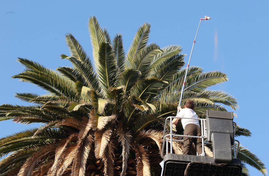 Traitement d'un palmier contre le charançon rouge. Des drones sont également utilisés pour mener cette opération.