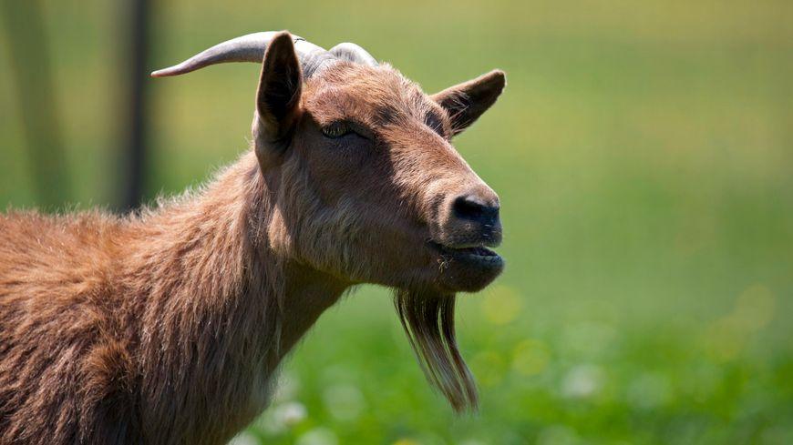 Illustration : la chèvre naine est restée bloquée plusieurs heures entre les deux murs.
