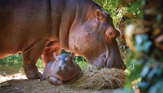 Né en juin 2018 au zoo de La Flèche, ce bébé hippopotame pesait 30 kg.