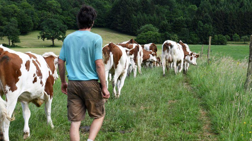 Vache laitière (illustration)