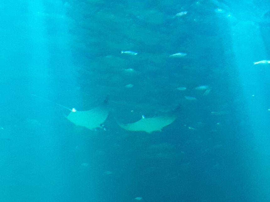 Le grand bassin de Nausicaá a été repeuplé depuis l'inauguration, avec des maquereaux et des sardines, notamment.