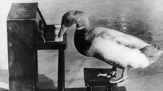 The Duck 'Liberace' Plays The Piano In An Amusement Park