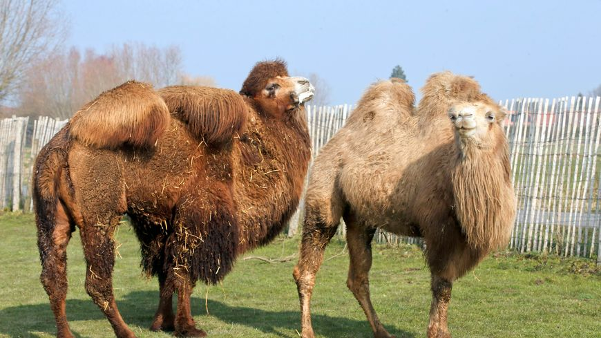 Les 6 chameaux ont été repérés avenue Georges Sand