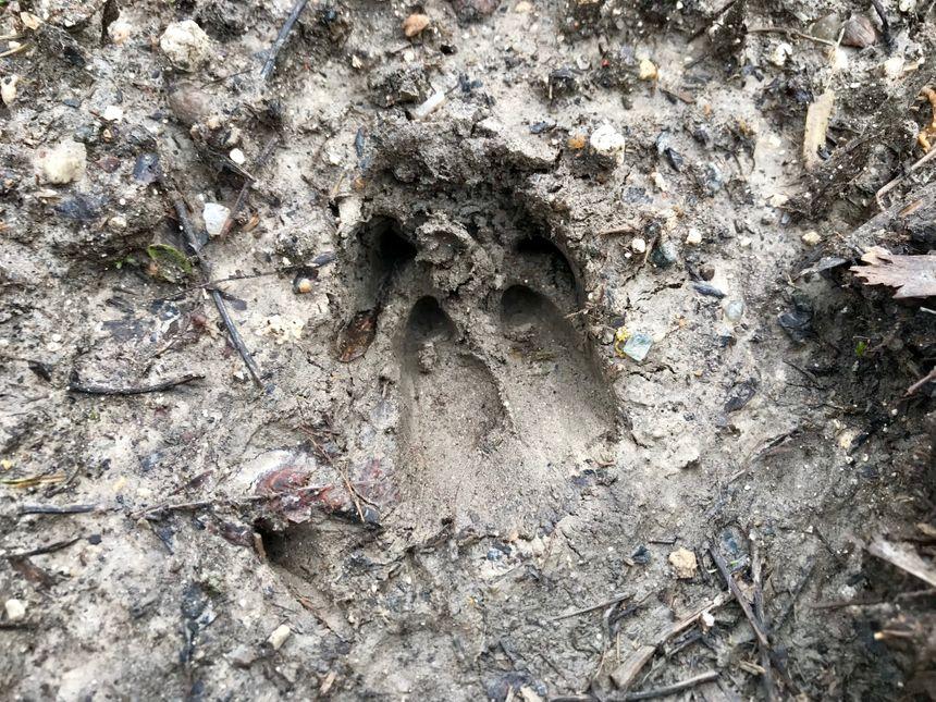 Les traces du passage des sangliers étaient visibles même sur le parking utilisé par les chasseurs