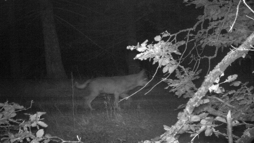 Un loup a été identifié sur les photos prises par un appareil automatique dans la commune de Murat-sur-Vèbres