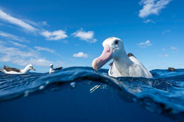 Albatros au large de la Nouvelle-Zélande