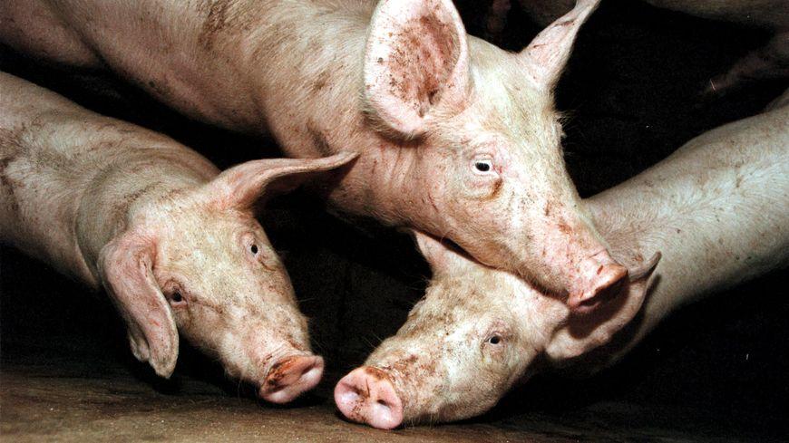 Elevage industriel de porcs en Bretagne