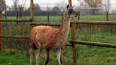 Ineka le lama a pris la fuite depuis début décembre