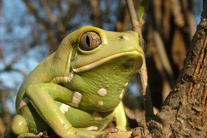 On a enfin trouvé une Juliette pour Roméo la grenouille (Phyllomedusa sauvagii au Paraguay