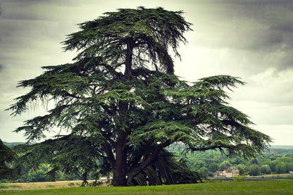 Un vieux cèdre du Liban dans le parc du château de Chaumont, France.