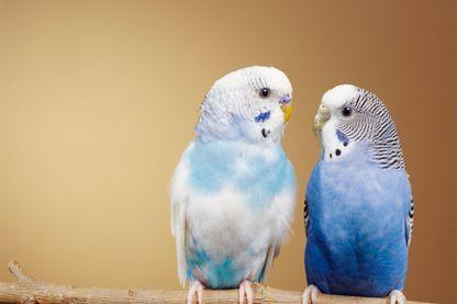 Couple de perruches ondulées