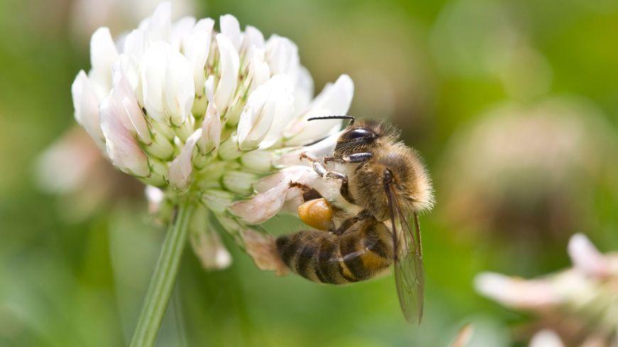 Une abeille butinant sur un trèfle blanc