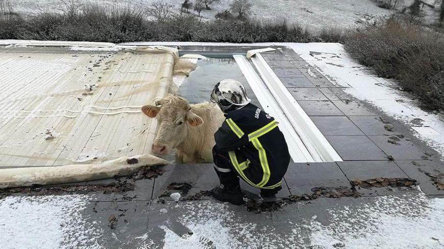 Les pompiers ont réussi à sortir la vache de l'eau glacée de la piscine