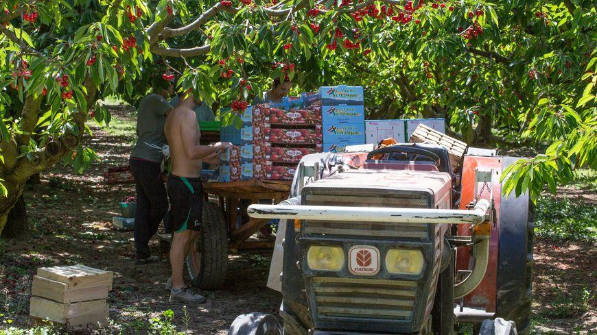 15 000 tonnes de cerises sont récoltées en moyenne chaque année en Vaucluse