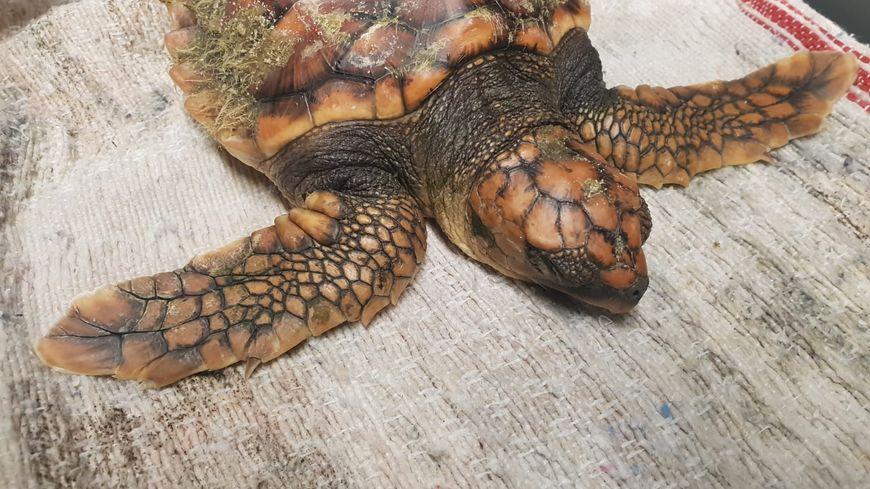 Un bébé tortue caouanne retrouvé ce jeudi 31 janvier 2019 sur la plage de Vieux-Boucau. Très fatigué, sans doute par la tempête, il a été récupéré pour être soigné à l'aquarium de Biarritz.