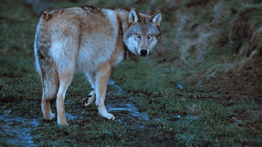 Y a-t-il un loup dans le Nord de la Dordogne? ( image d'illustration réalisée dans le parc de Gévaudan)