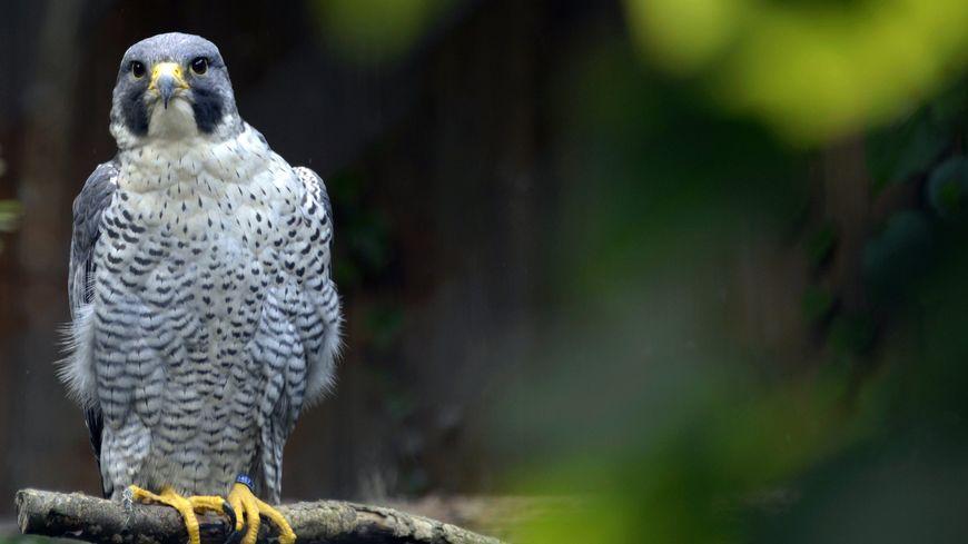 Pour l'instant, trois couples de faucons pèlerins ont été localisés.