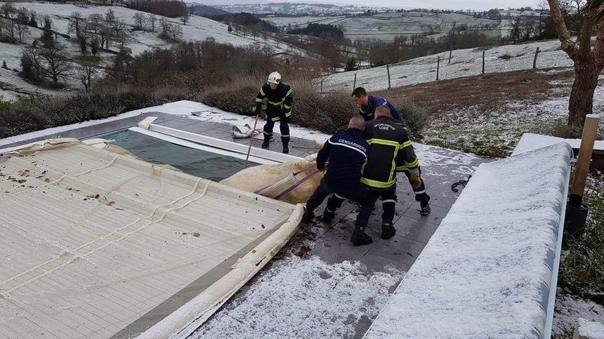 Gendarmes et Sapeurs Pompiers ont travaillé ensemble à sortir la bête de l'eau