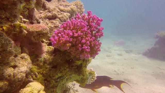 Les algues qu'ils hébergent donnent aux coraux leurs teintes