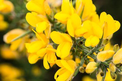 Gros plan de fleurs ajoncs jaunes, plante à fleurs européenne et méditerranéenne.