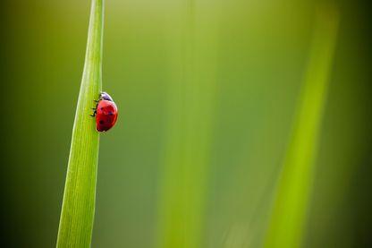 Seven-spot ladybug (Coccinella septempunctata) climbing grass blade, Toulouse, Haute-Garonne, France