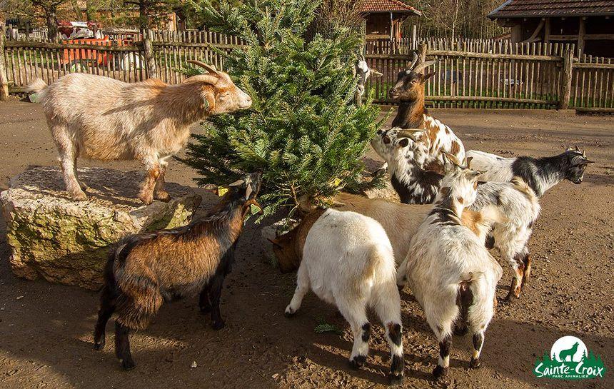 C'est l'heure du festin pour les chèvres !