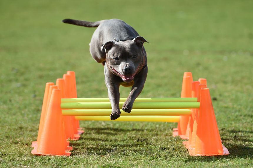 Un staffordshire bull terrier