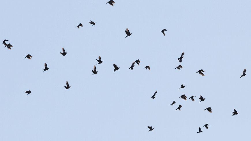 La fédération des chasseurs d'Aquitaine et de Midi-Pyrénées a décompté 200 000 palombes pour le mois de décembre 2018.