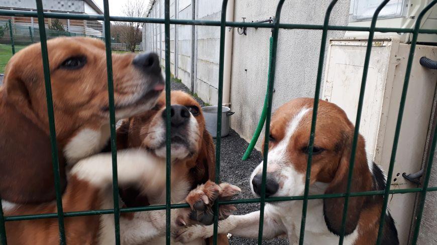 4 beagle retraités des laboratoires au refuge SPA de Cabourg