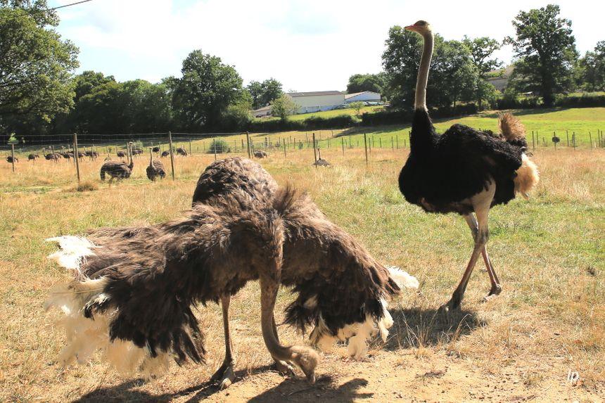 Les mâles sont facilement reconnaissables : ils sont noirs alors que les femelles sont grises.