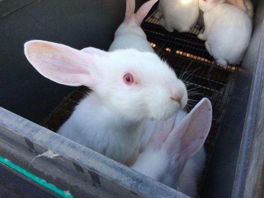 Un éleveur de la Sarthe a perdu 200 000 lapins en à peine 4 ans. La surmortalité serait dûe à aux hyperfréquences des bâtiments.